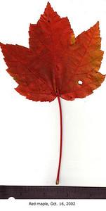 Red Maple leaf, fall foliage