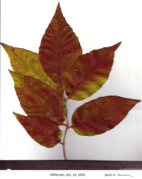 White Ash leaves, fall foliage