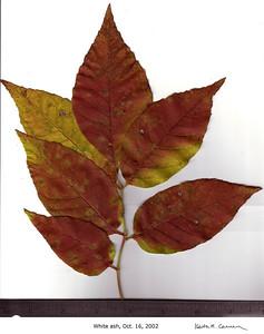 White Ash leaves, fall foliage