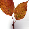 Flowering Dogwood leaf, fall foliage