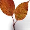 Flowering Dogwood leaf, fall foliage