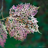 Red Maple leaf in fall colors