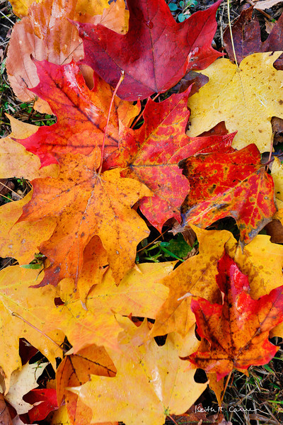 Maple leaves, fall colors