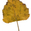 Gray Birch leaf, fall foliage