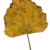 Gray Birch leaf, fall foliage