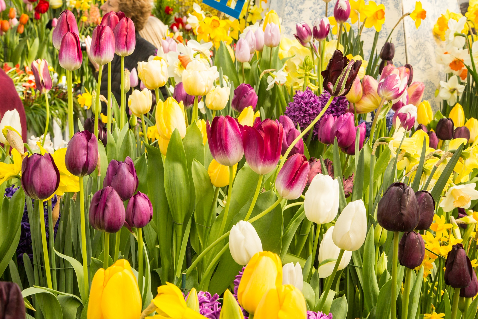 Tulips and daffodils at the Spring Bulb Show, March 2017