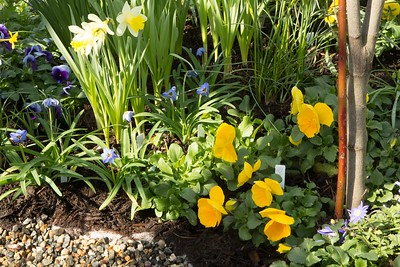 Daffodils and starflowers, at a pool