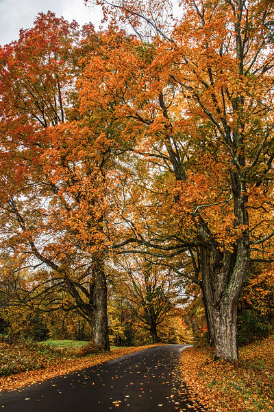 Maple trees in fall color, Apex Orchards, Shelburne, Massachusetts