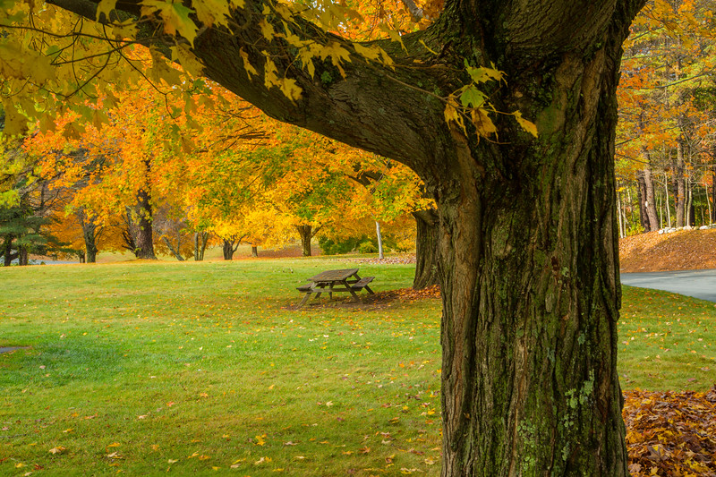 A maple tree in fall color, Hanks Meadow, Quabbin Park, Massachusetts