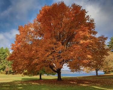 Maple trees in fall splendor, Quabbin Park Headquarters, Massachusetts