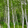 Birch grove at Acadia NP, Maine