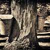 Galvanized sap collection buckets on a maple tree, Hadley, Massachusetts