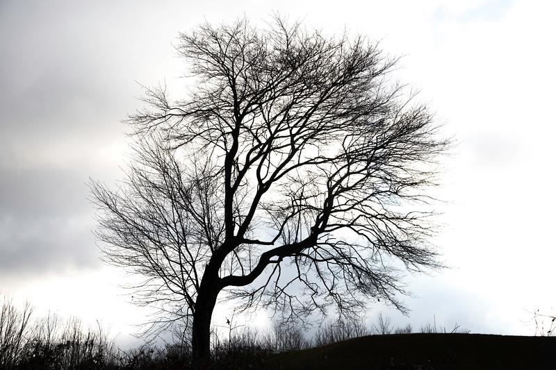 Leaning winter maple, Quabbin Park, Massachusetts