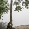 Black oak tree at the Connecticut River, foggy morning, Hadley, Massachusetts