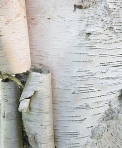 Birch bark curls, Hadley, Massachusetts