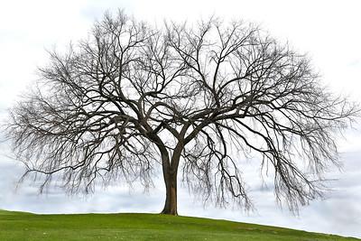 A huge maple tree, Longmeadow, Massachusetts