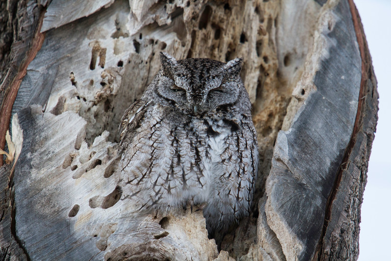 Eastern screech owl in a maple tree hole, Rye, New Hampshire