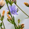 Wild Chicory flower (Cichorium intybus)