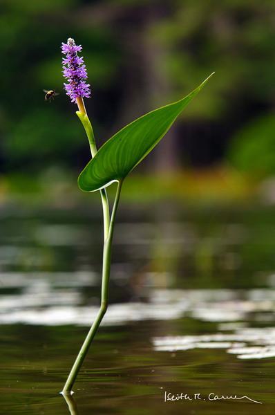 pickerel-weed-flower-bee