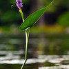 pickerel-weed-flower-bee