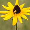 Ambush Bug on Black-eyed Susan
