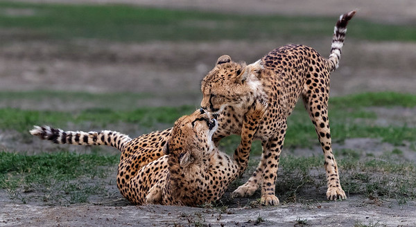 14_Phil McFadden_ Cheetah Mum and Cub Playing