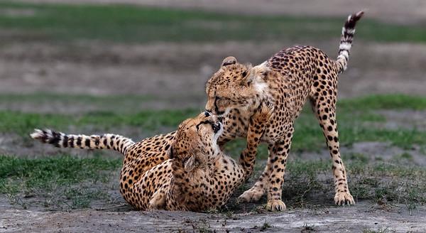 Phil McF Cheetah Mum and Cub Playing Ndutu