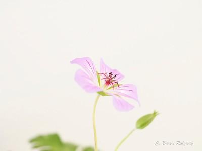 Barrie_05_ wild native geranium
