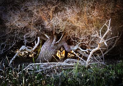 Lagoon Tree