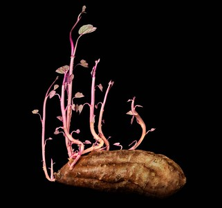 Bonsai Sweet Potato, Judy Parker