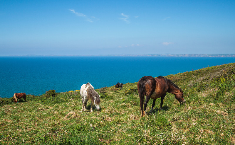 Ponies grazing the scrub on the cliffs north of Broad Haven