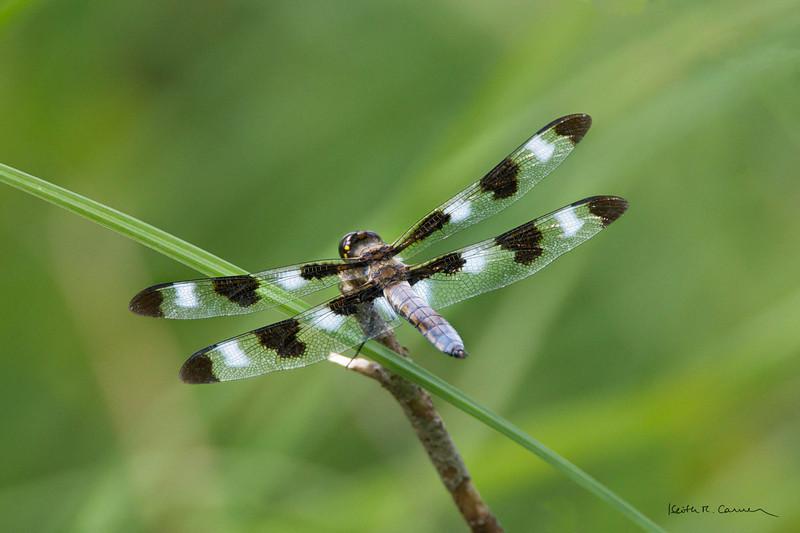 Ten-spotted Skimmer