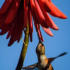 Hummingbird in flight iPhone and smartphone wallpaper.