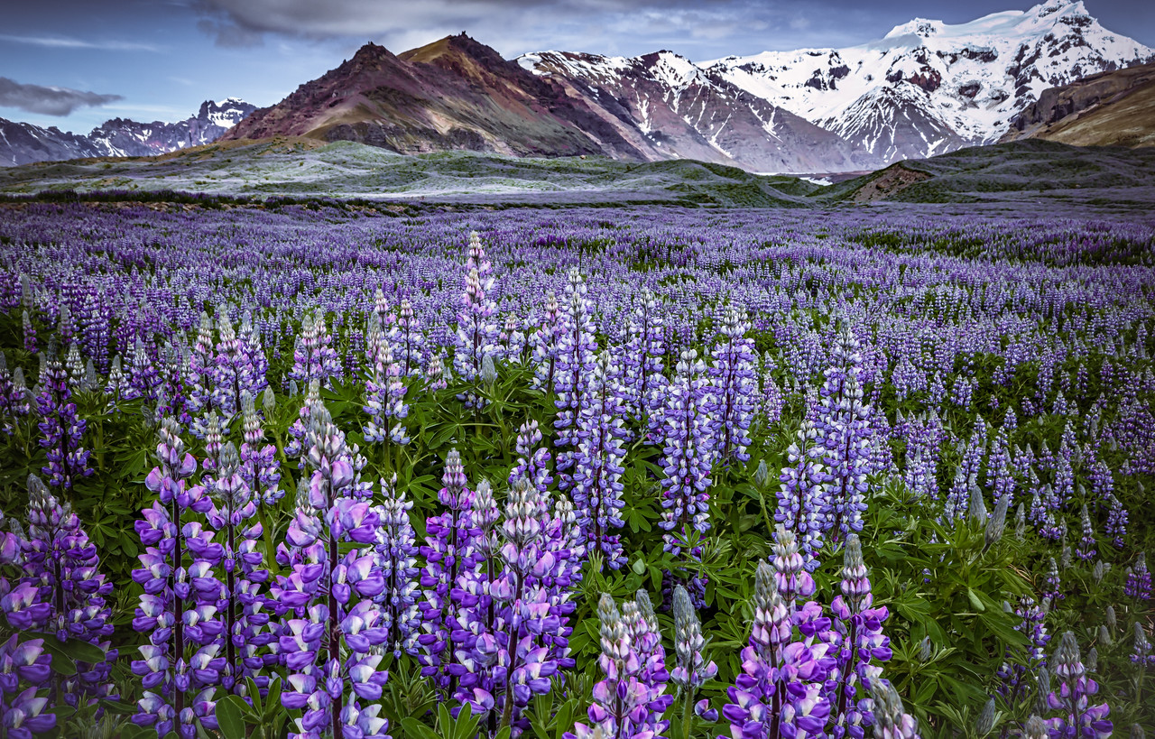 Lupins - Iceland