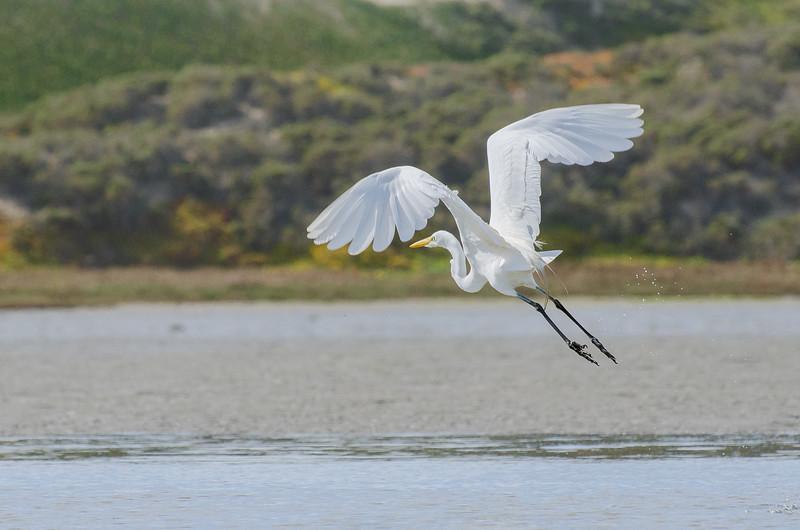 Egret, Morro Bay, CA