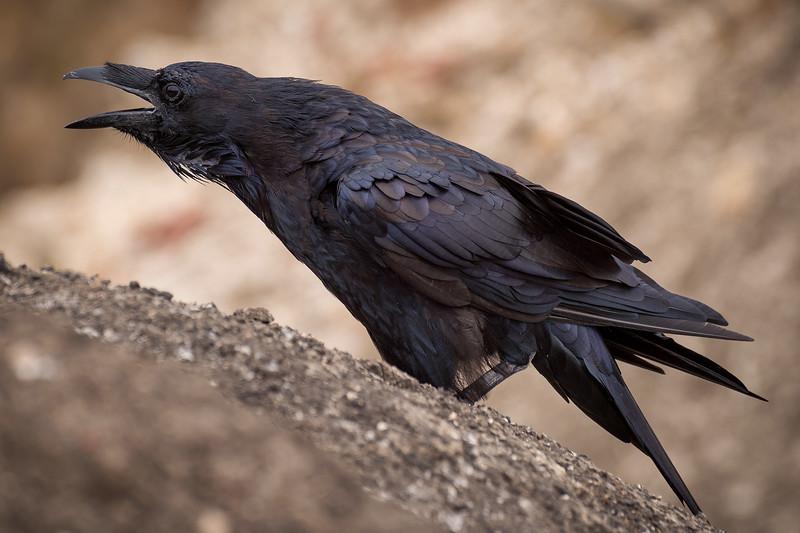 Raven, Santa Cruz Island