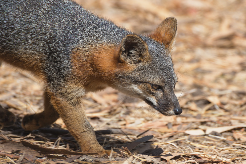 Island fox, Santa Cruz Island, Channel Islands National Park.