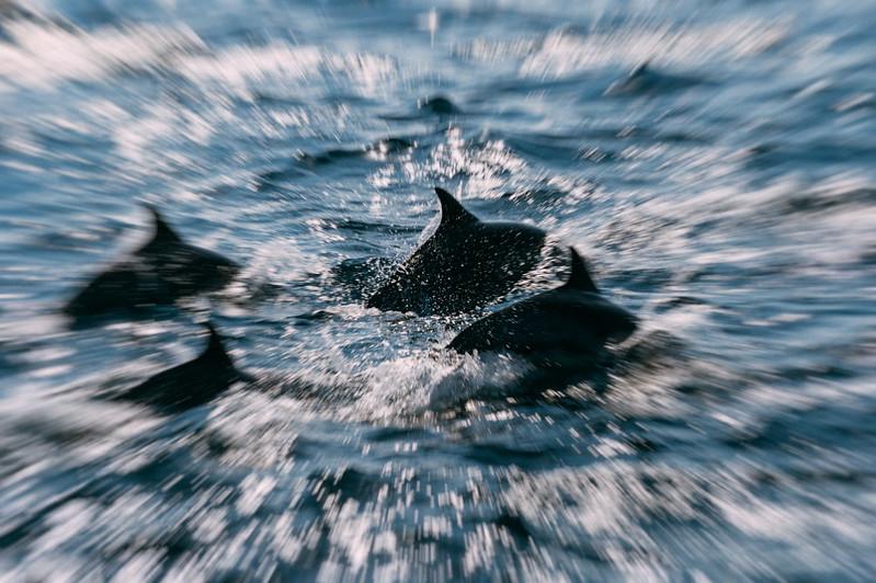 Dolphins, Santa Barbara Channel