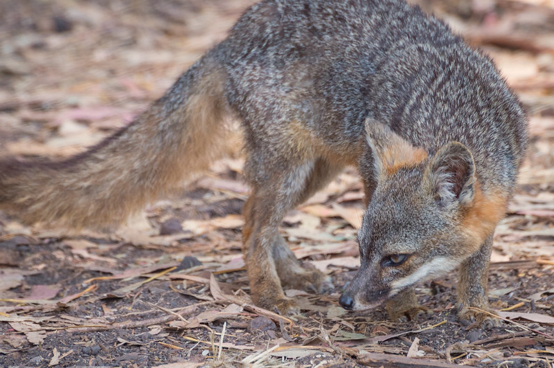 Island fox, Channel Islands National Park.
