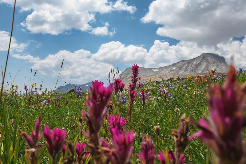 Wildflowers, Pine Creek Pass trail, John Muir Wilderness