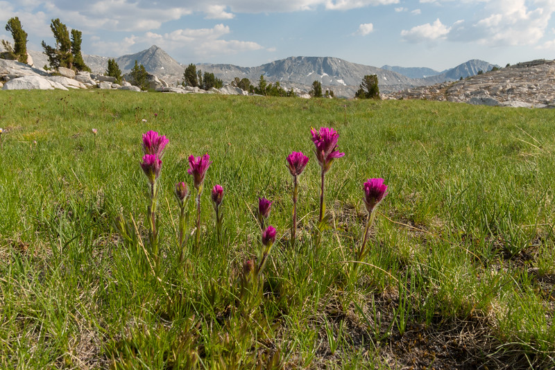 Wildflowers near Pine Creek Pass, John Muir Wilderness
