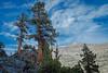 Foxtail pine, John Muir Wilderness.