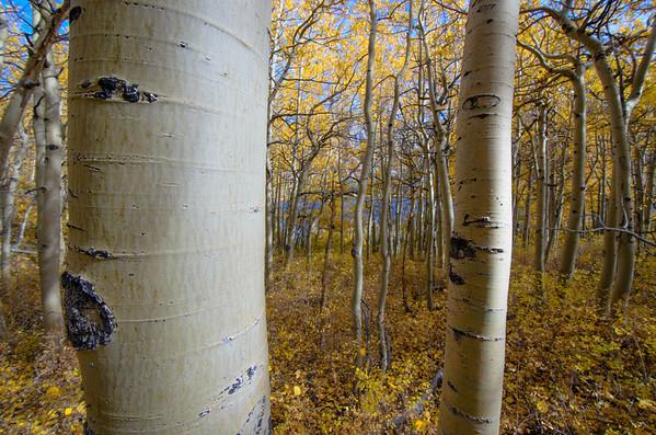 Aspen grove at North Lake.