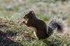 Squirrel, Snowcreek meadows.