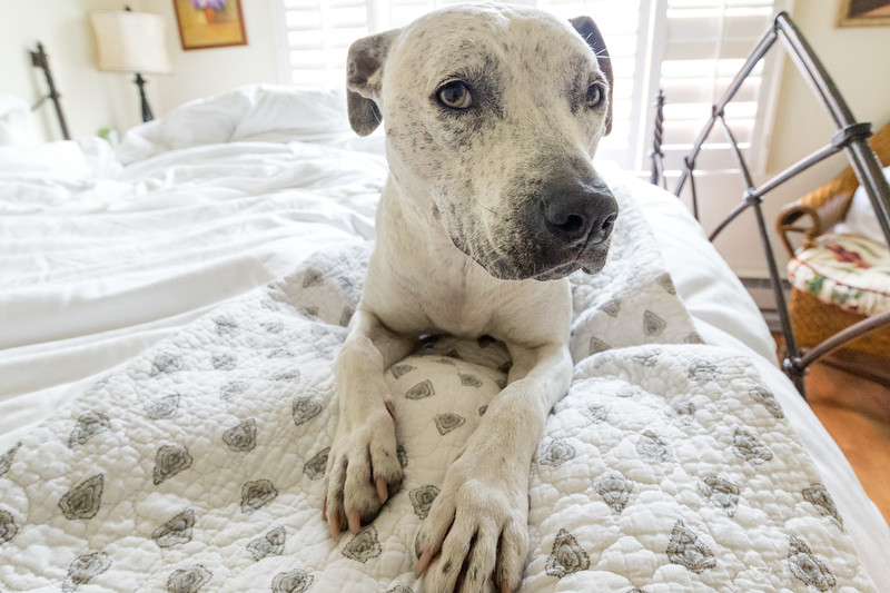 Pit bull dog on bed during Northern California vacation