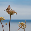 Bird singing, Noyo Headlands, Fort Bragg, CA
