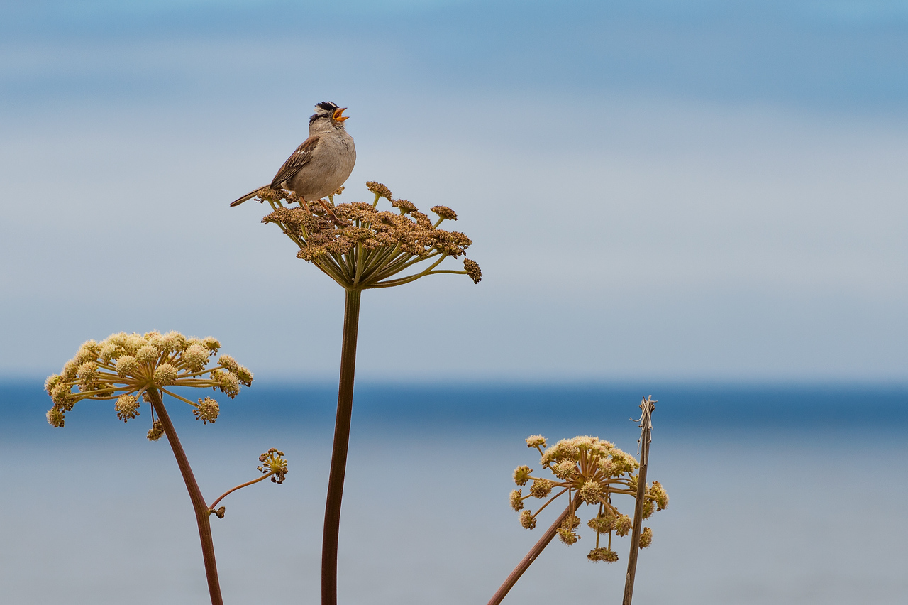 Bird singing, Noyo Headlands, Fort Bragg, CA