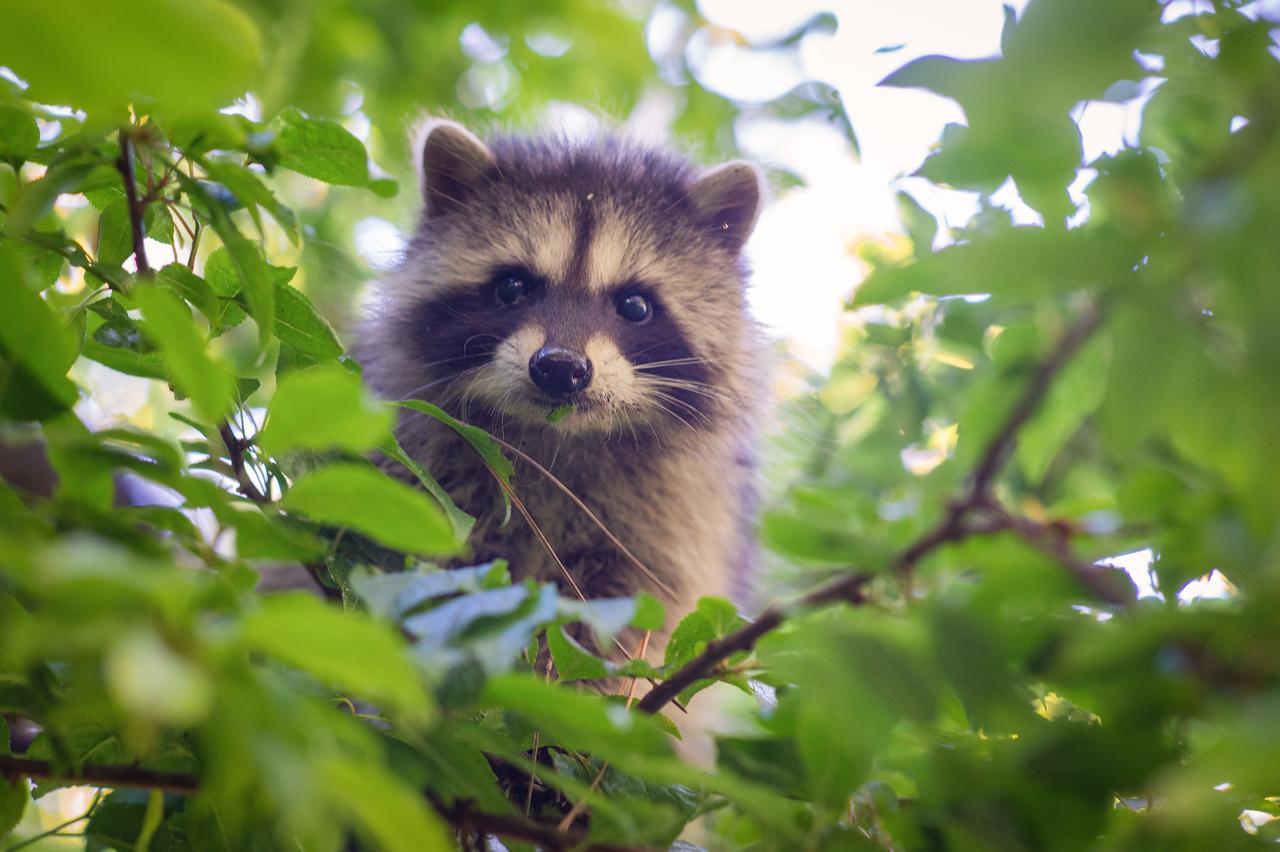 Raccoon cub in a tree, MacKerricher State Beach, Fort Bragg, CA