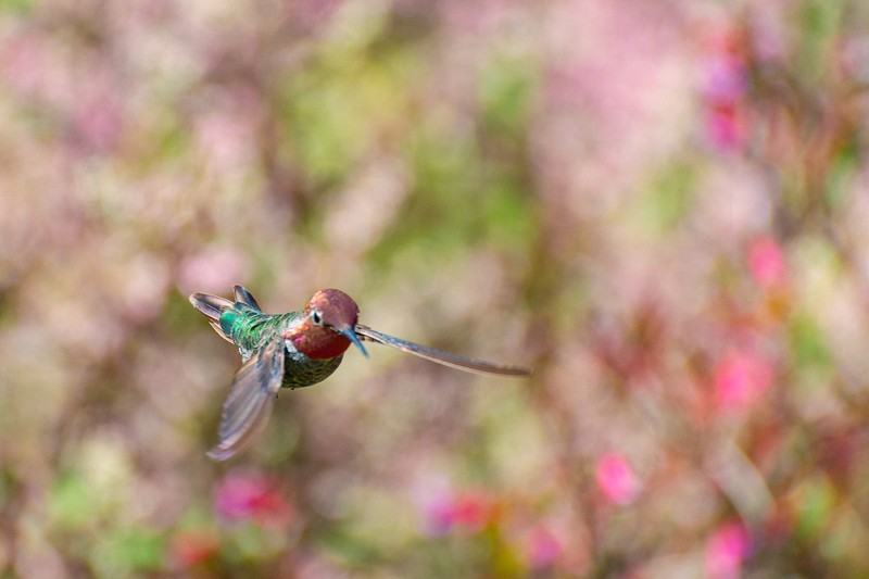 Hummingbird in flight, Mendocino Coast Botanical Gardens, Fort Bragg, CA