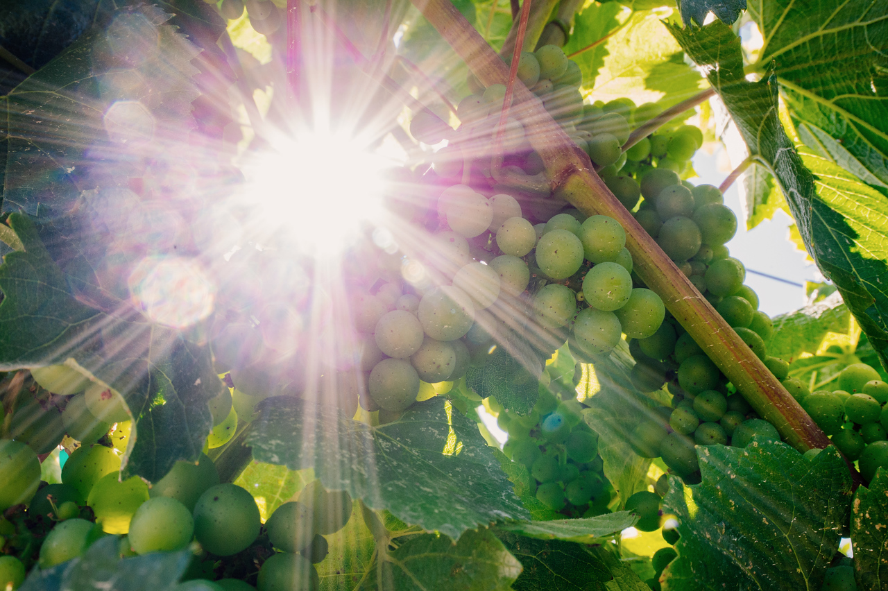 Grapes and sun beams, Anderson Valley, CA